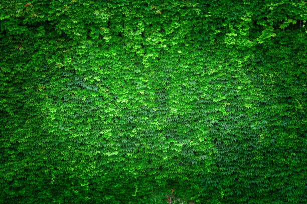 Wall of Green Ivy stock photo