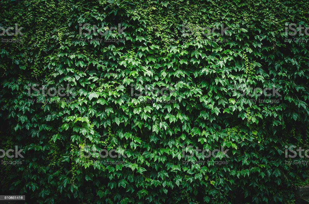 wall of green leaves stock photo