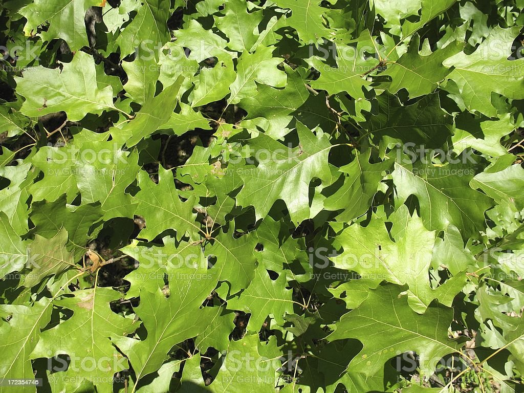 Wall of green oak leaves royalty-free stock photo