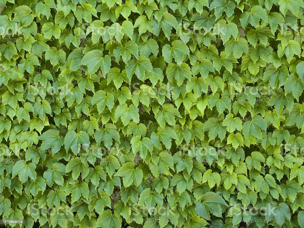 Wall of Ivy royalty-free stock photo