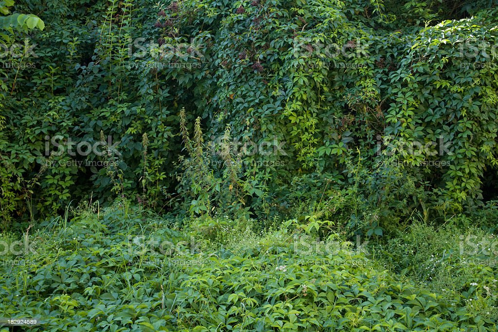 Wall of leaves. royalty-free stock photo