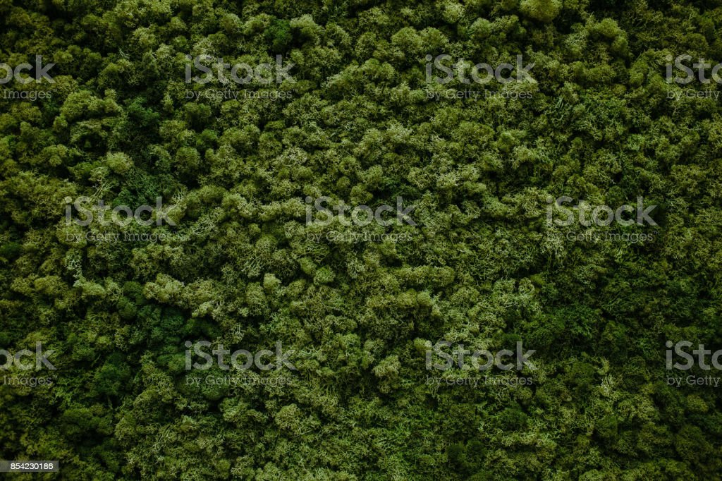 wall of natural moss stock photo