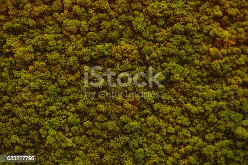istock Wall of natural moss texture 1083227796
