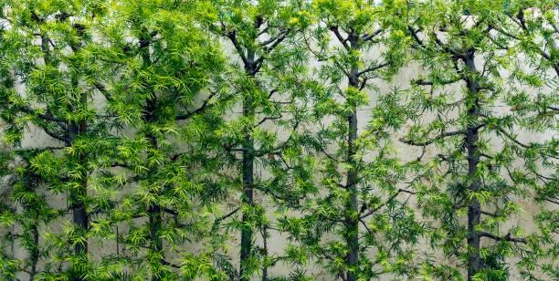 Wall of Pine Trees stock photo