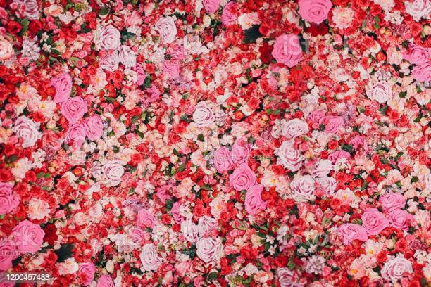 Photo of Wall of red and pink roses. Many flowers.