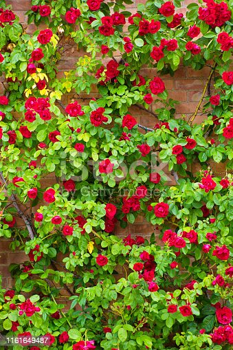 A wall of climbing roses on a brick wall in the street of a Tuscan hill town in Italy.