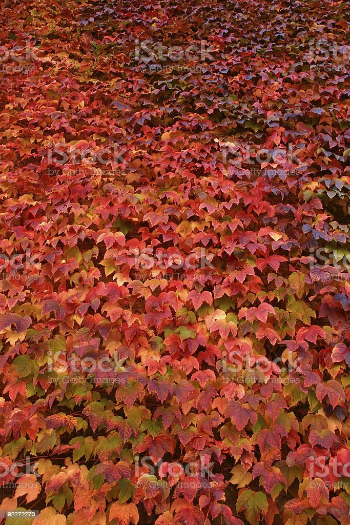 Wall of red ivy in autumn royalty-free stock photo