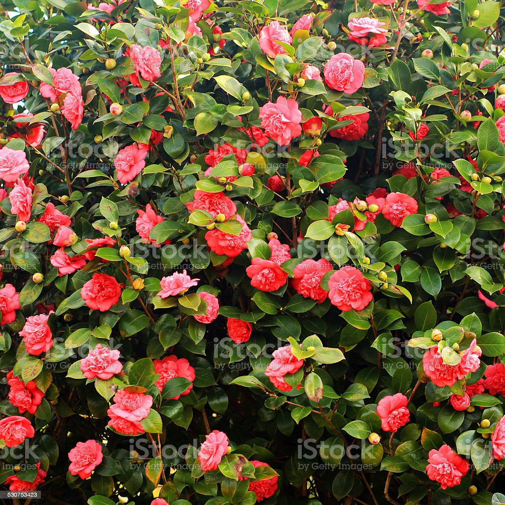 Wall of the red camellias stock photo