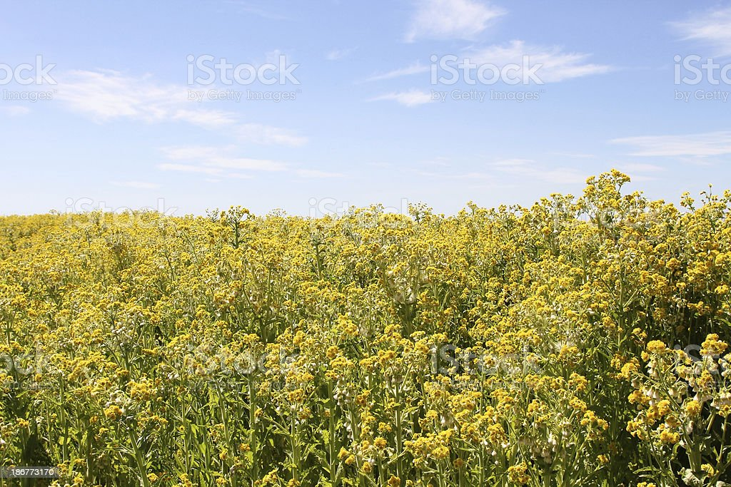 Wall of yellow flowers royalty-free stock photo