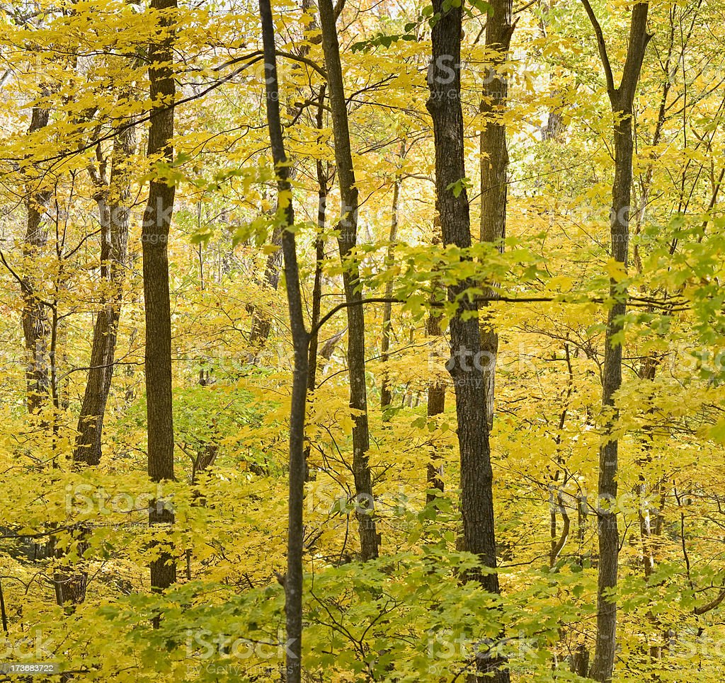 Wall of Yellow leaves (XXL) royalty-free stock photo