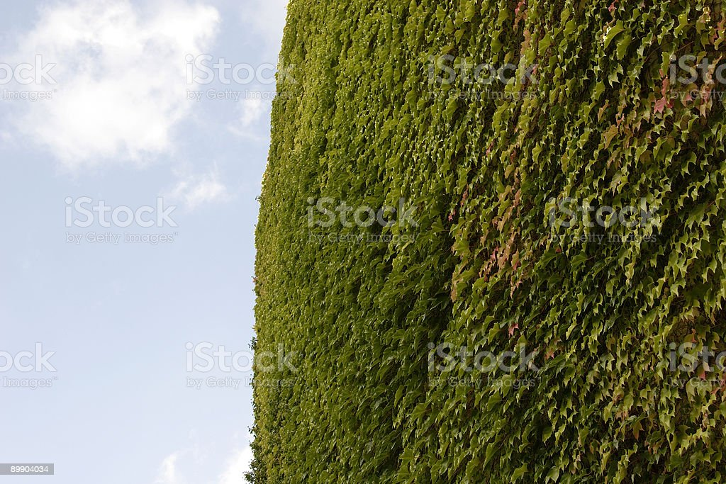wall overgrown with ivy royalty-free stock photo