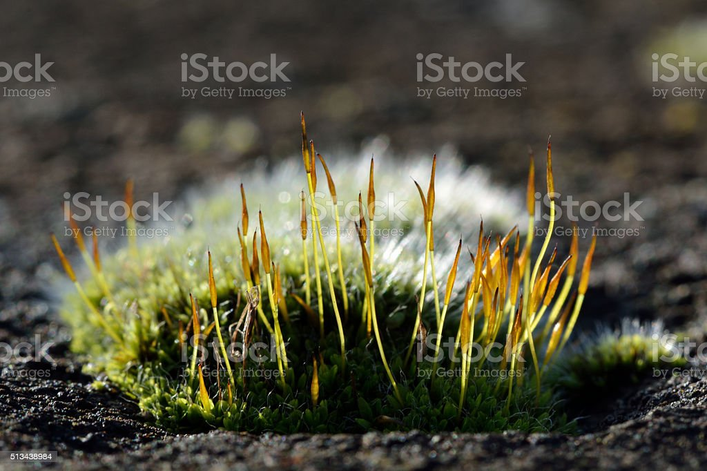 Wall screw-moss (Tortula muralis) stock photo
