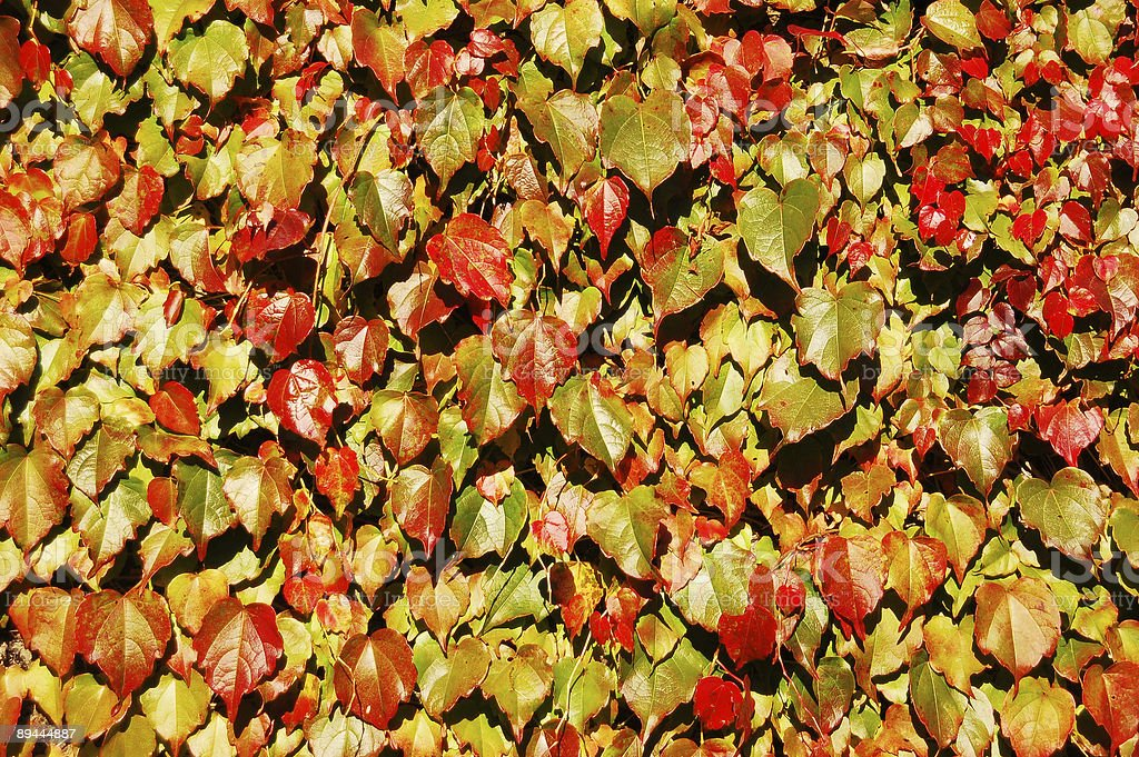 Wall with autumn colored wine leaves royalty-free stock photo