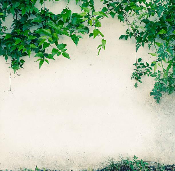 parede com folhas verdes - ivy building imagens e fotografias de stock