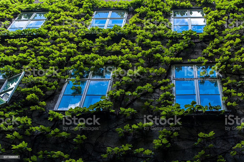 Wall with ivy and several Windows on it stock photo