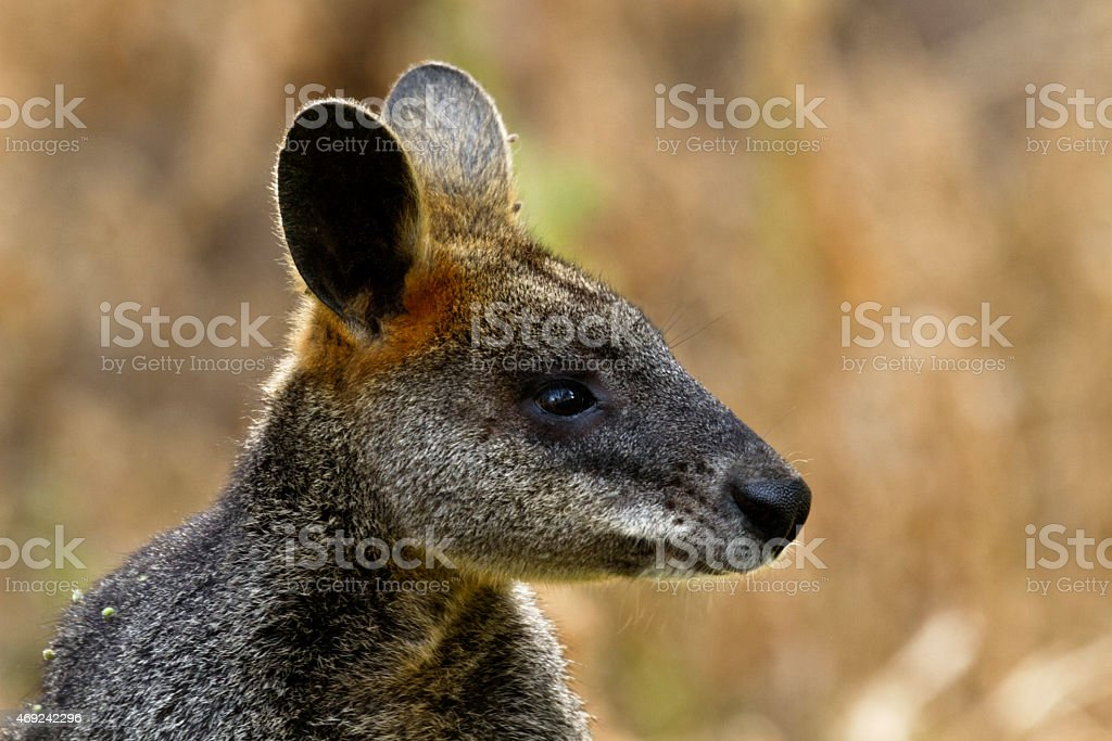 Wallaby at Tower Hill Reserve in Victoria, Australia stock photo