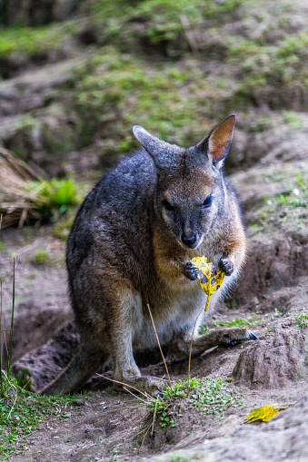 Wallaby Eating And Grooming Stock Photo Download Image Now Istock
