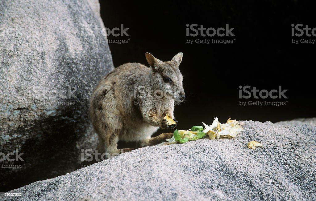 Wallaby de Comer foto de stock royalty-free