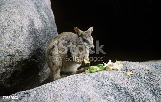 Neuguineisches Buschkänguru Essen Stock-Fotografie und mehr Bilder von Australien