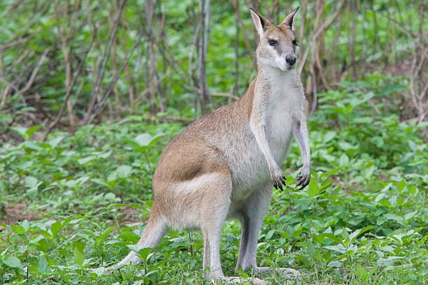 Wallaby in Queensland stock photo