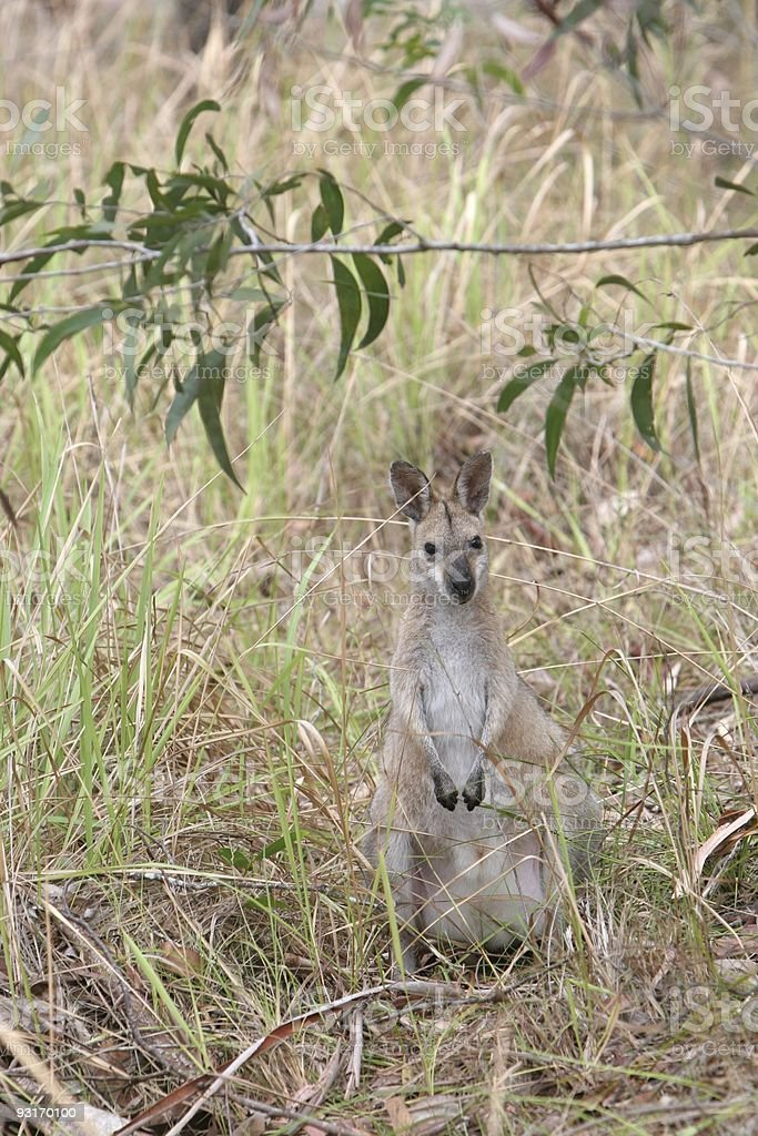 Wallaby in the Bush royalty-free stock photo