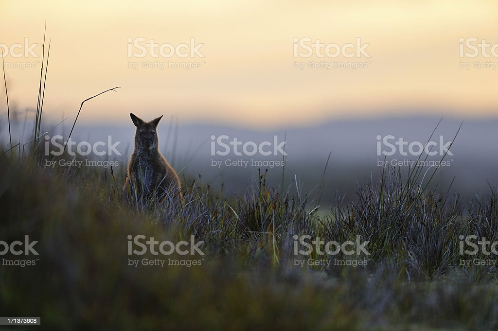 Wallaby in the morning stock photo