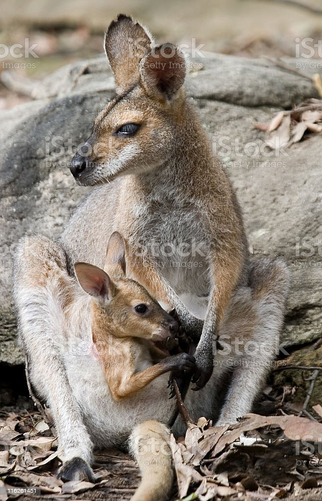 wallaby mother royalty-free stock photo