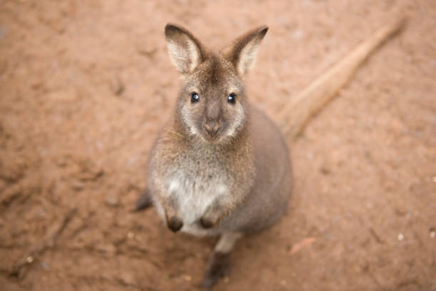 Wallaby outside by itself stock photo