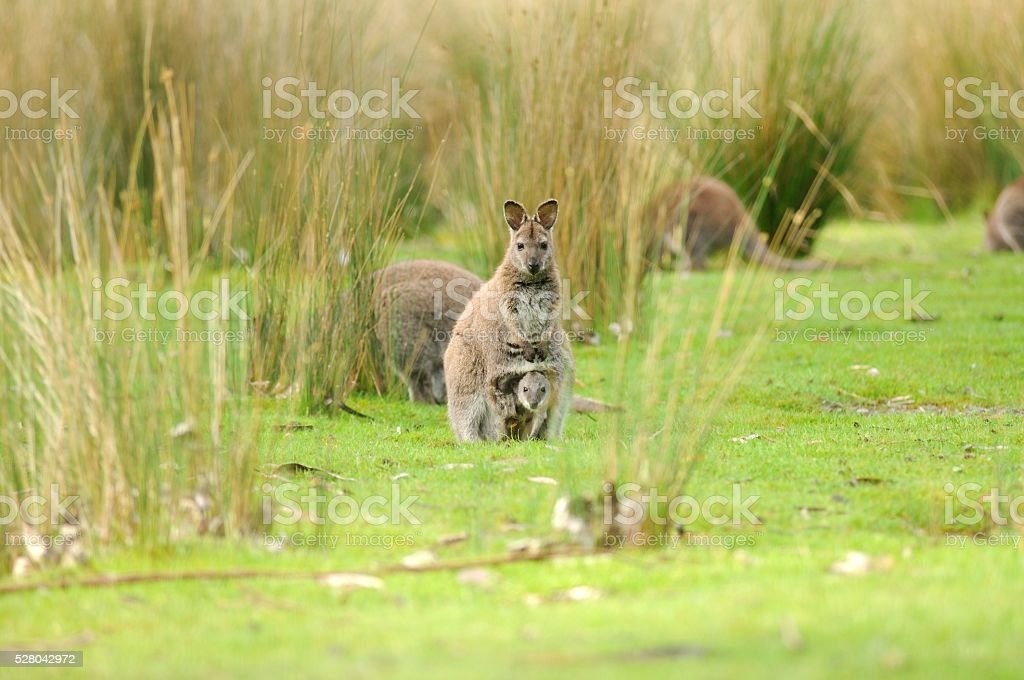 Wallaby a Wallaby sits joey in pouch while others forage for food around her on Bruny Island off Tasmania, Australia Animal Stock Photo