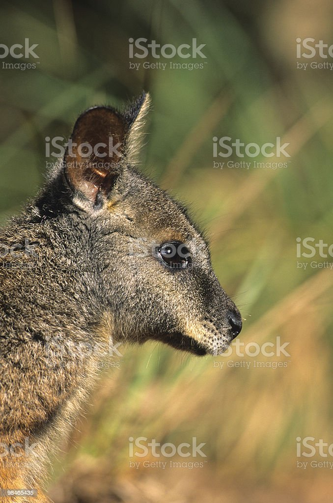 Wallaby Portrait royalty-free stock photo