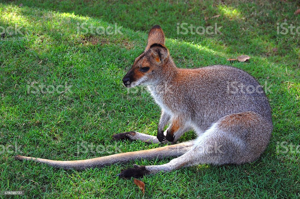 Wallaby sitting on grass stock photo