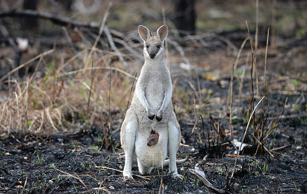 Wallaby with baby joey A Whiptail Wallaby, macropus parryi, kangaroo with a baby joey in her pouch standing in recently burned out Australian outback bushland. australia stock pictures, royalty-free photos & images