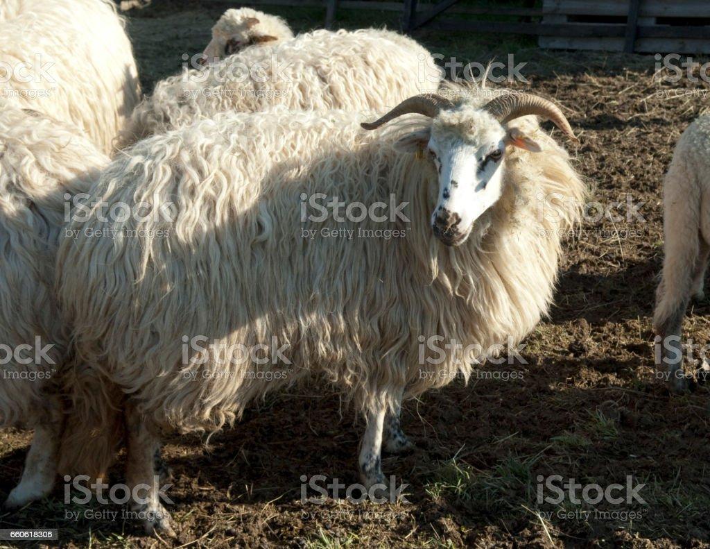 Wallachian sheep,  Ovis ammon f. aries, Zackelschaf royalty-free stock photo
