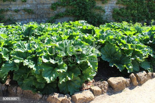 Photo showing a large patch of rhubarb leaves growing in a sunny walled kitchen garden / ornamental vegetable garden.  These lush rhubarb plants (Latin name: Rheum rhabarbarum) were heavily picked in the spring after being forced in terracotta forcer pots, to make them sweeter and crop earlier..