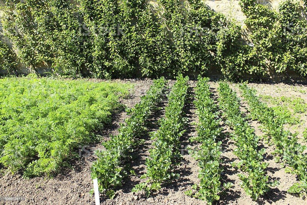 Walled Kitchengarden Growing Vegetables Carrots Celeriac Cordon