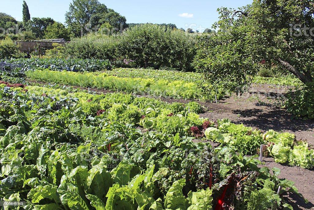 Walled kitchen-garden growing vegetables, Swiss chard image, lettuces, lettuce plants stock photo