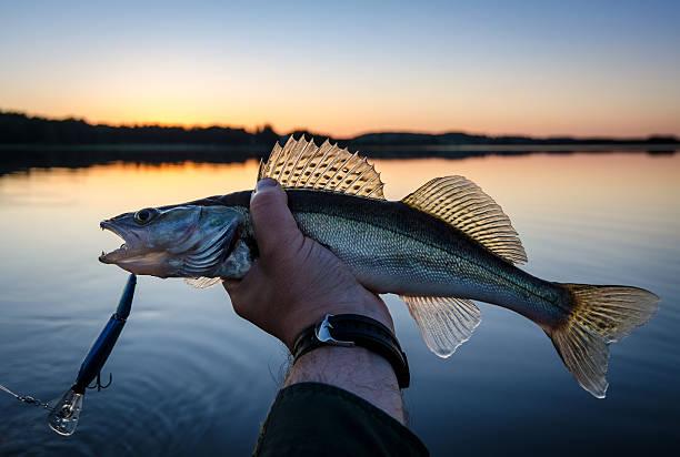 Walleye fishing at sunset stock photo