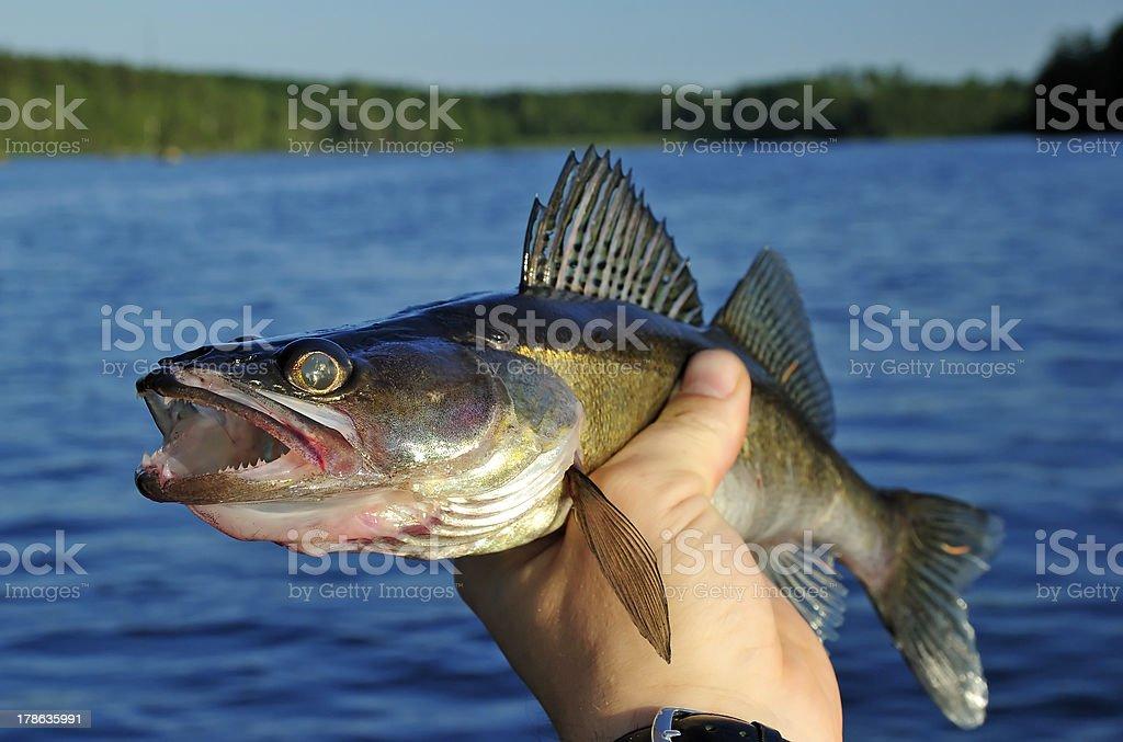Walleye in hand stock photo