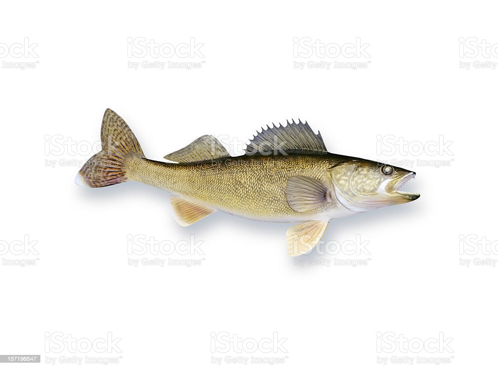 Walleye stock photo