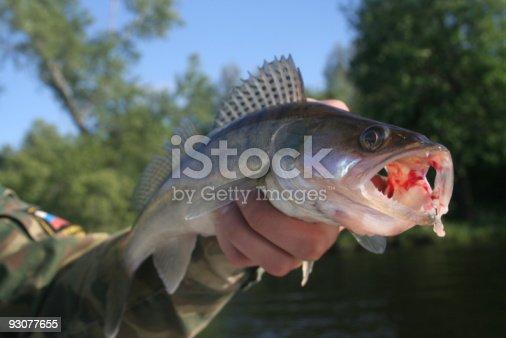 139888169istockphoto walleye 93077655