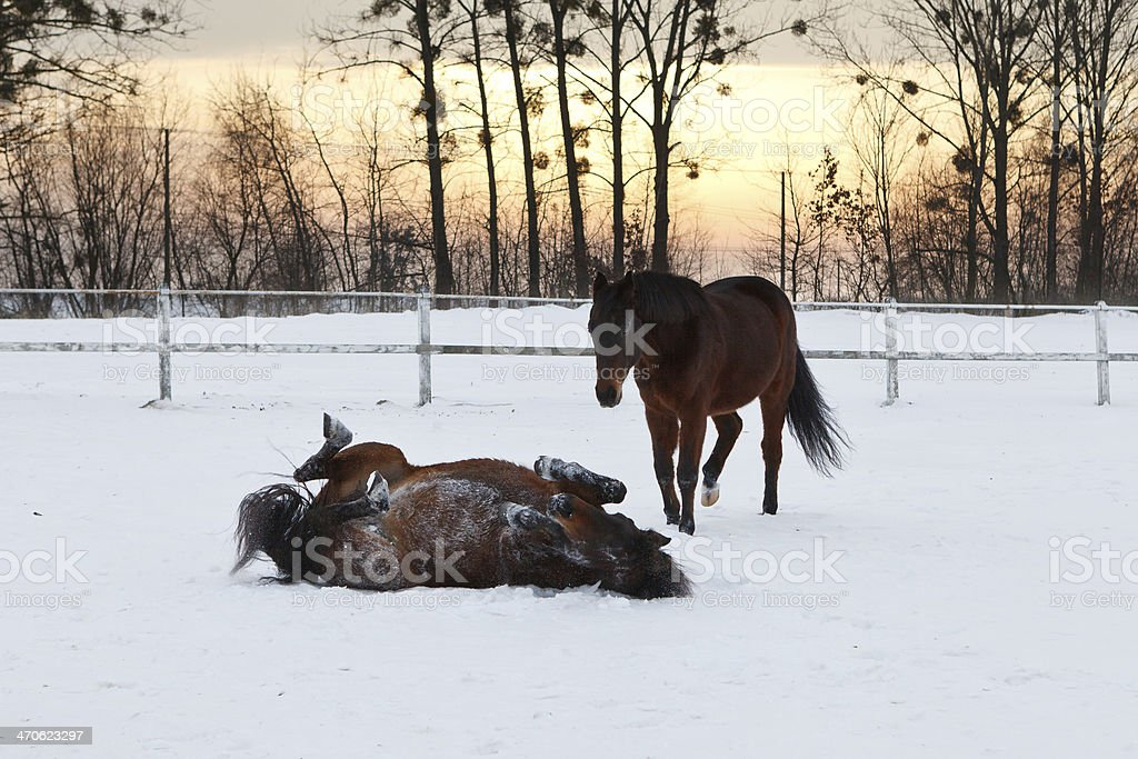 Wallowing horse stock photo