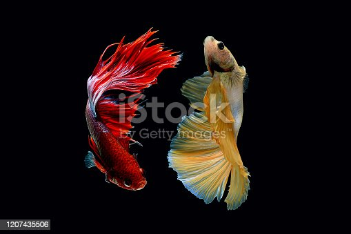istock Wallpaper Beautiful Macro Photography Betta Fish With Black Background 1207435506