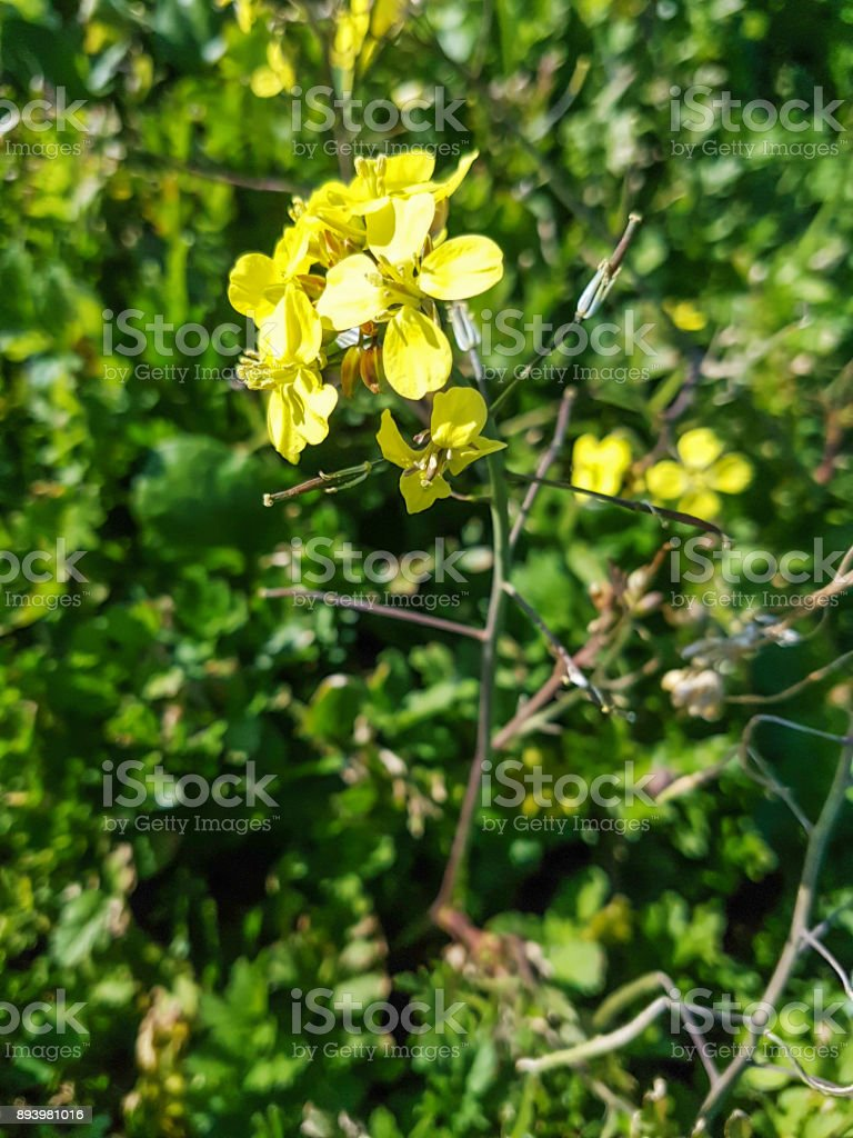 Wall-rocket plant royalty-free stock photo