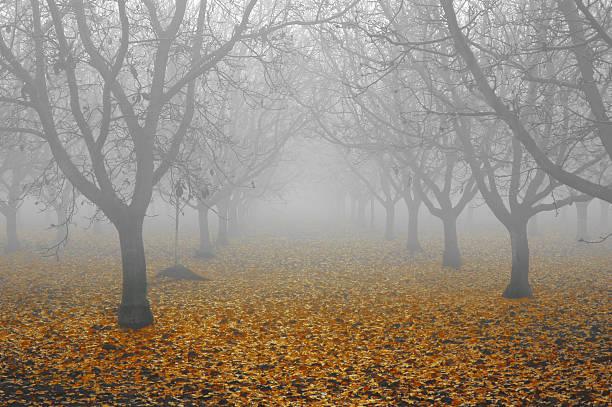 Walnut Grove in Fog stock photo