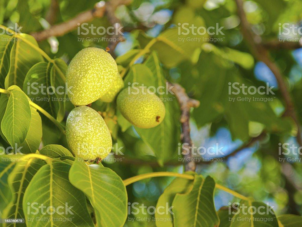 Walnut growing on a tree royalty-free stock photo