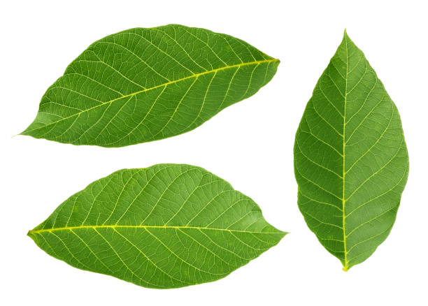 walnut leaves isolated on white background stock photo