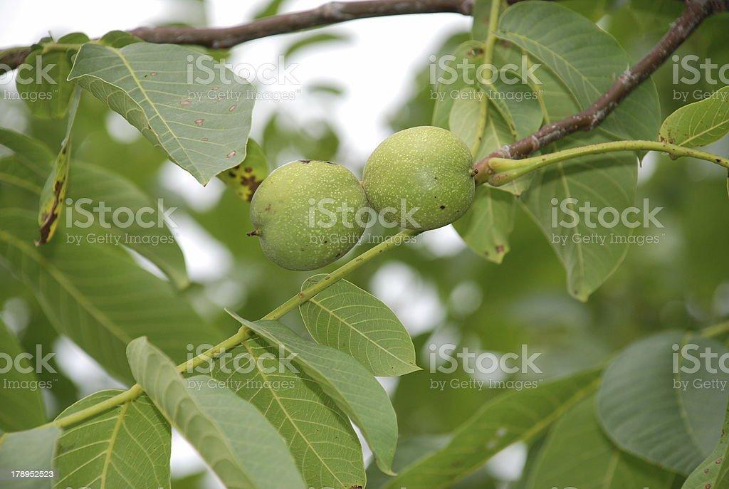 Walnut.. royalty-free stock photo