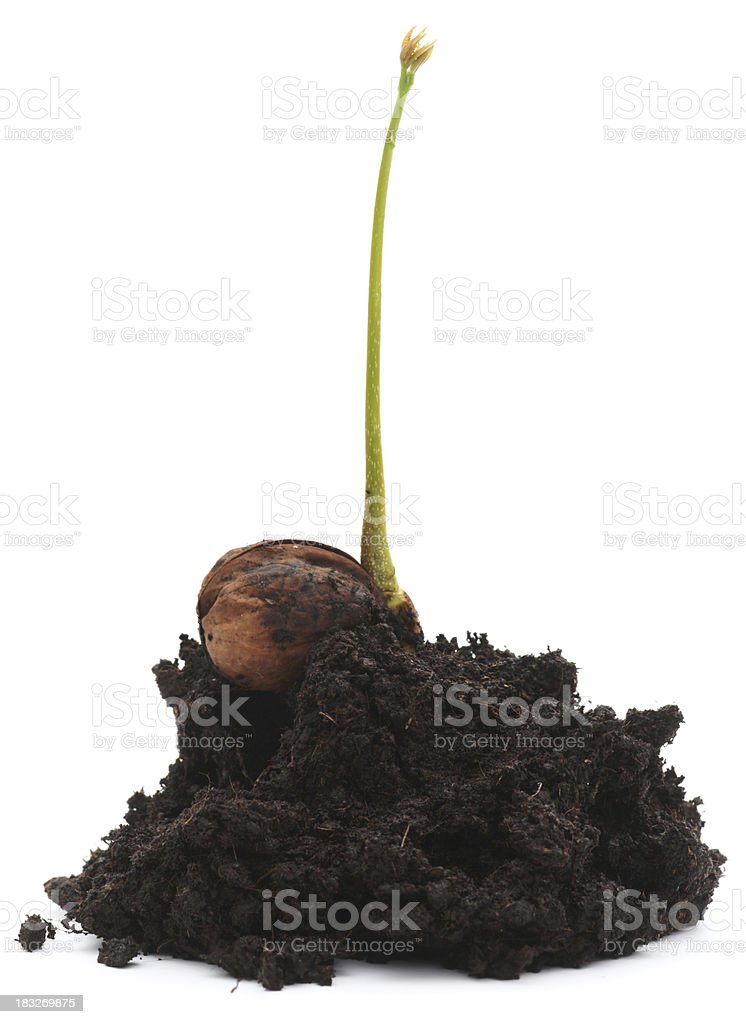 Walnut sprout isolated on white royalty-free stock photo