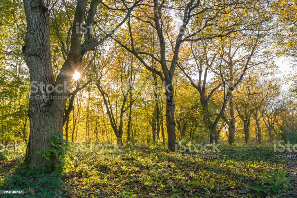 Walnut tree alley in warm autumn light royalty-free stock photo