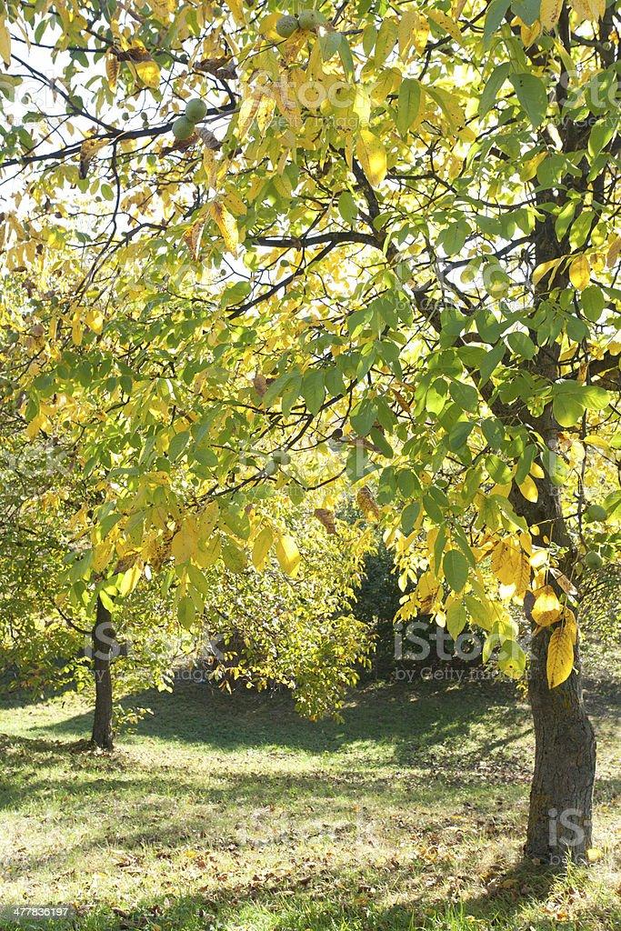 Walnut Tree Foliage royalty-free stock photo